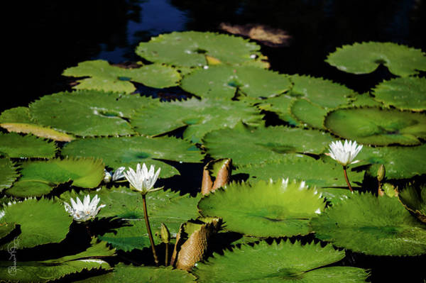 Photograph - Lily Pond II by Susan Molnar