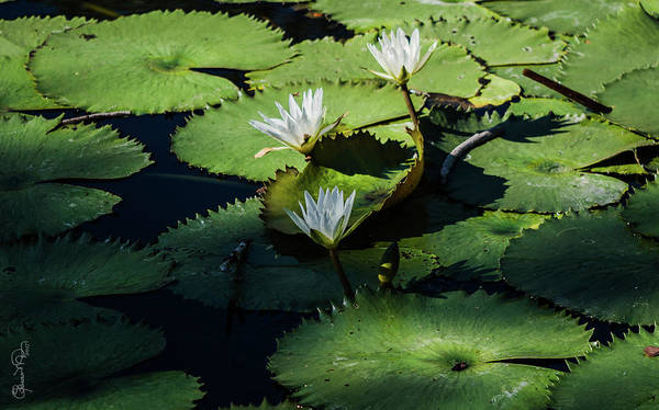 Photograph - Lily Pond IIi by Susan Molnar