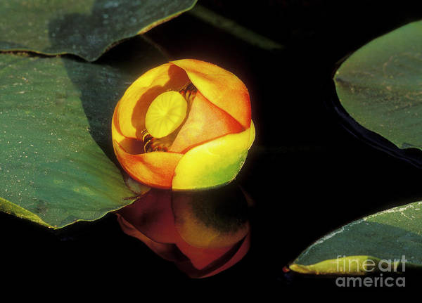 Wall Art - Photograph - Lily Reflection by Sandra Bronstein