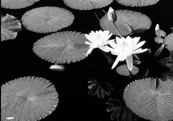 Photograph - Lily Pair by Susan Hendrich