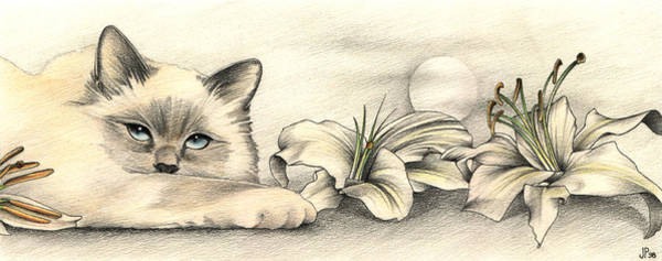 Pastel Pencil Drawing - Lily The Birman by Johanna Pieterman