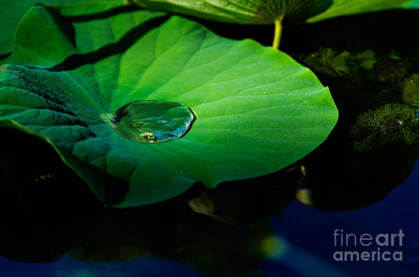 Lily Water Art Print