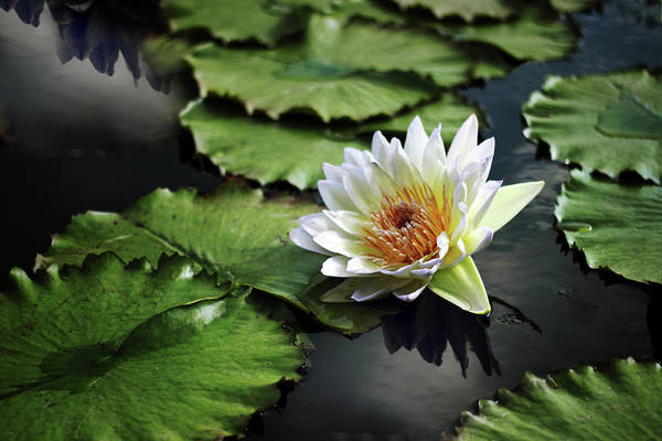 Lily Pads Photograph - Lily White by Jessica Jenney
