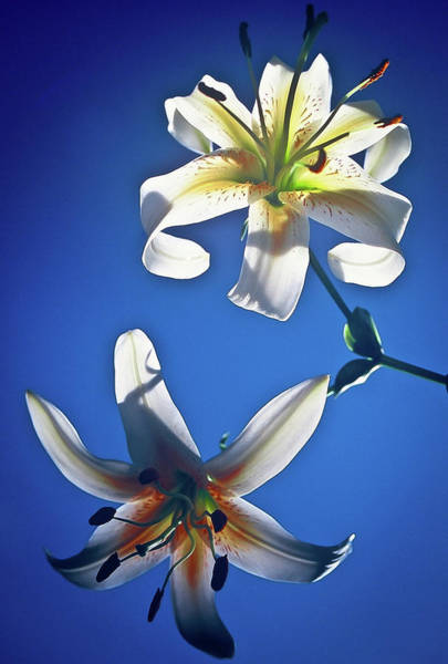 Photograph - Billy's Lilies by William T Templeton