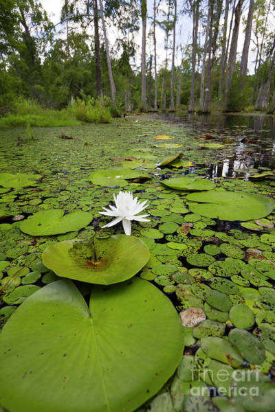 Swamp Photograph - Lilypads And Flower In The Cypress Swamp by Dustin K Ryan