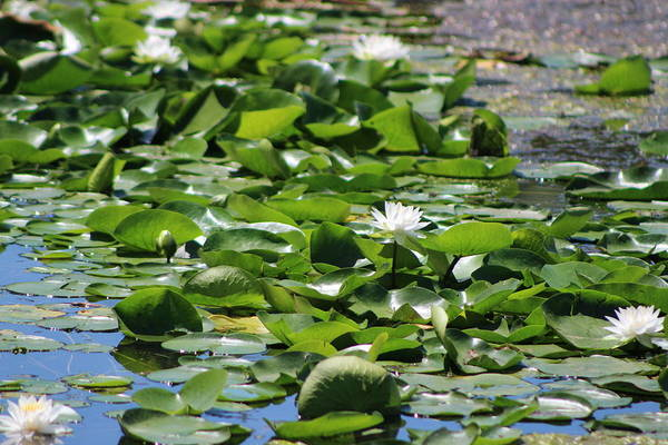 Photograph - Lilypond Chicago Botanical Garden by Colleen Cornelius