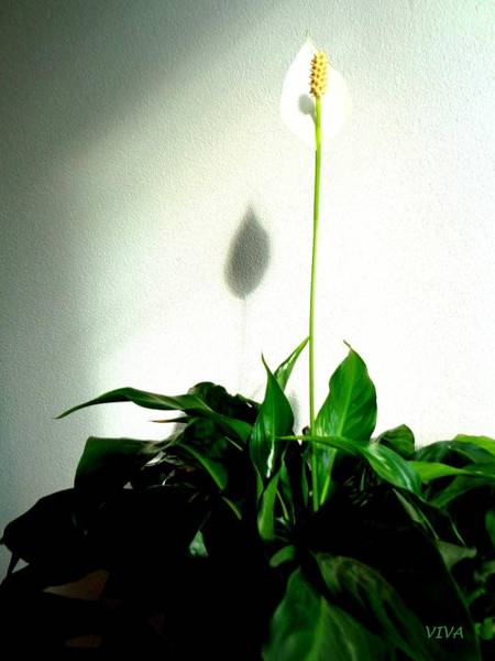 Photograph - Lily's Progress 3 by VIVA Anderson