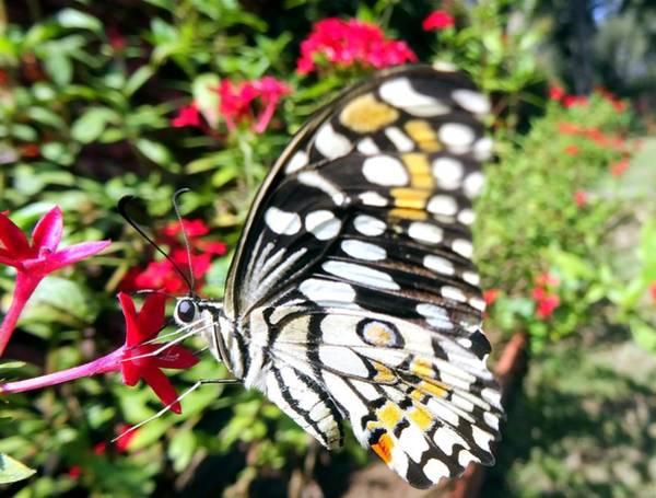 Nectar Mixed Media - Lime Butterfly Papilio Demoleus by SHWETA Sambyal