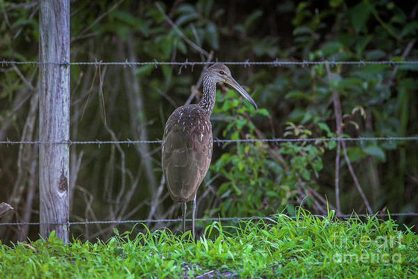 Photograph - Limpkin And Fence by Tom Claud