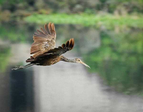 Photograph - Limpkin In Flight by Dawn Currie