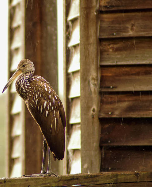Photograph - Limpkin by Kevin Banker