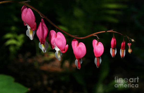 Photograph - Line Of Hearts by Steve Augustin