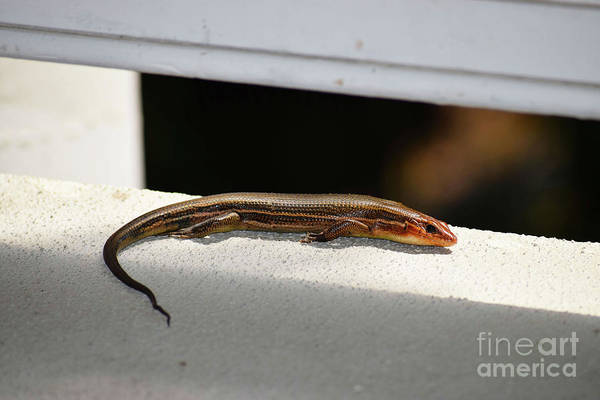 Photograph - Lined Skink by Patti Whitten