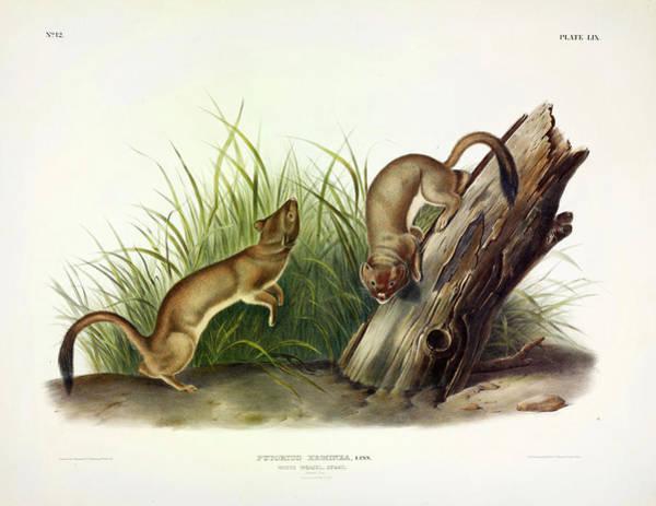 Weasel Wall Art - Painting - White Weasel by John James Audubon