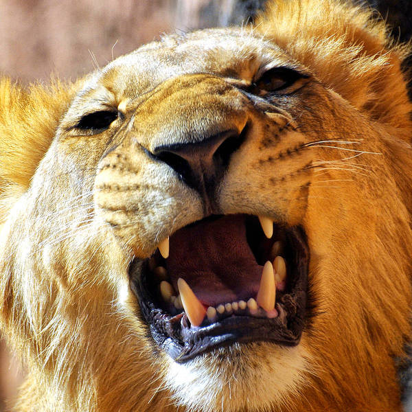 Photograph - Lion 27 by Ingrid Smith-Johnsen