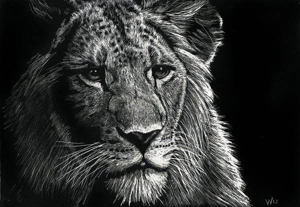 Drawing - Lion 3 by William Underwood