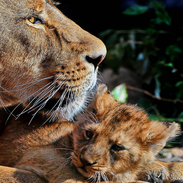 Photograph - Lion 31 by Ingrid Smith-Johnsen