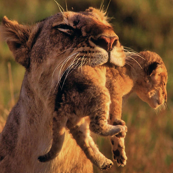 Photograph - Lion 32 by Ingrid Smith-Johnsen