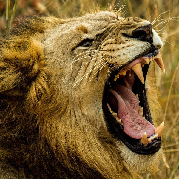 Photograph - Lion 38 by Ingrid Smith-Johnsen