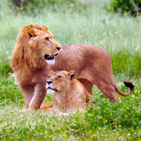 Photograph - Lion 40 by Ingrid Smith-Johnsen