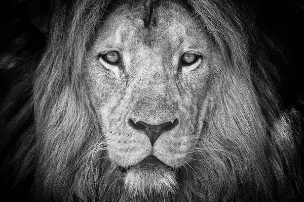 Photograph - Lion 5716 by Traven Milovich