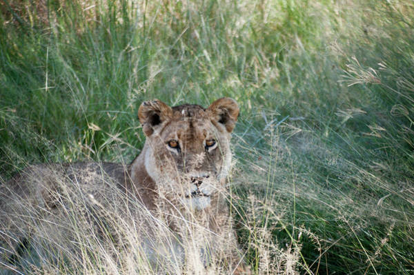 Photograph - Lion by Adele Aron Greenspun