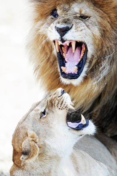 Wall Art - Photograph - Lion And Lioness Aggression During Mating by Susan Schmitz