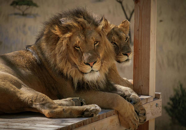 Photograph - Lion And Lioness by Mary Lee Dereske