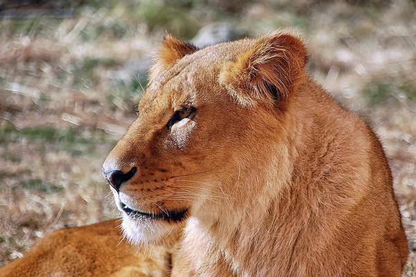 Photograph - Lion Around by Kuni Photography
