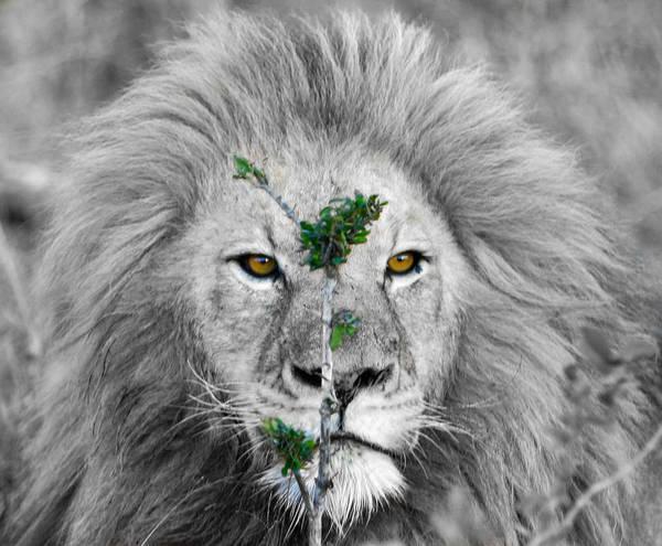 Wall Art - Photograph - Lion Bw by Stebin Horne