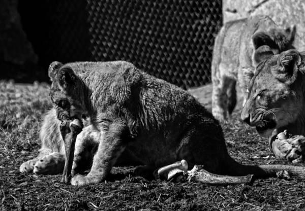 Digital Art - Lion Cub Chewing On A Bone by Chris Flees