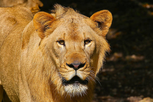 Photograph - Lion by Dart and Suze Humeston