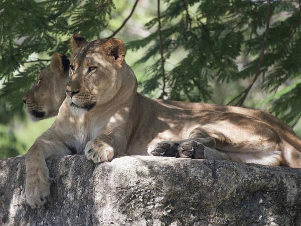 Photograph - Lion by Dart Humeston