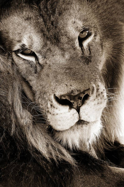 Photograph - Lion by Dick Pratt
