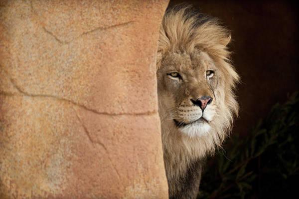 Wall Art - Photograph - Lion Emerging    Captive by Steve Gadomski