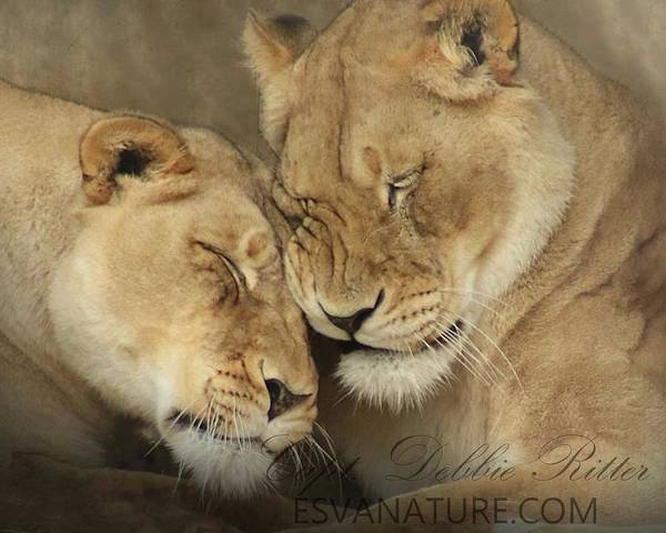 Photograph - Lion Female 5949 by Captain Debbie Ritter