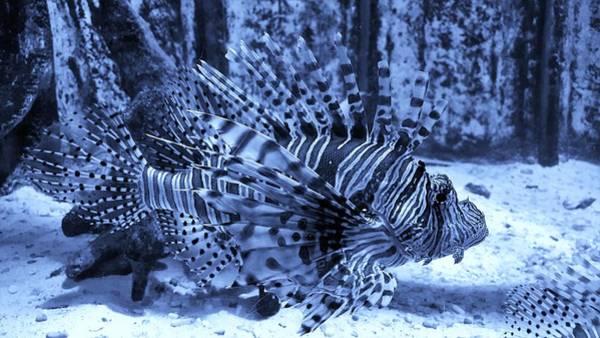 Photograph - Lion Fish Cyan by Rob Hans