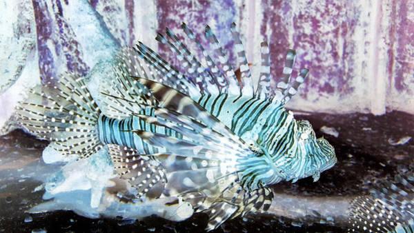 Photograph - Lion Fish Negative by Rob Hans