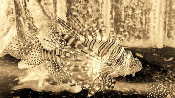 Photograph - Lion Fish Sepia Negative by Rob Hans