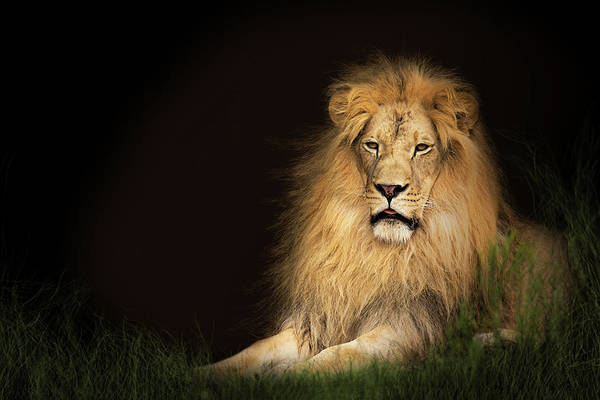Photograph - Lion In Grass With Copy Space by Susan Schmitz