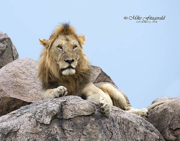 Photograph - Lion King by Mike Fitzgerald