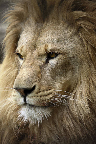Wall Art - Photograph - Lion by Linda Wright