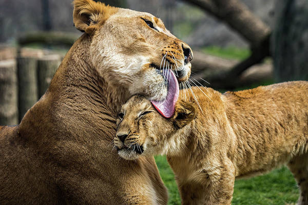 Photograph - Lion Mother Licking Her Cub by Ron Pate