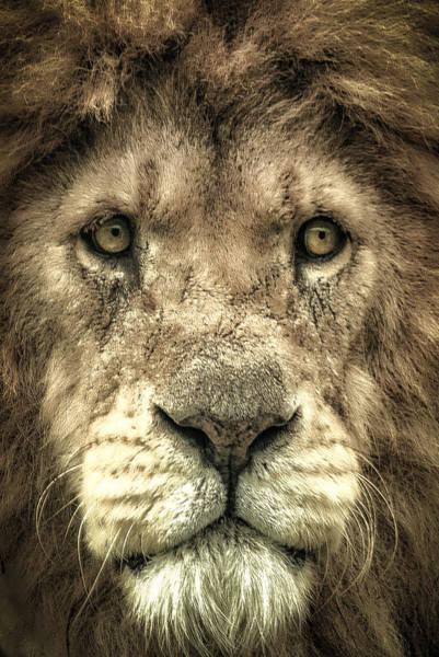Photograph - Lion Portrait by Chris Boulton