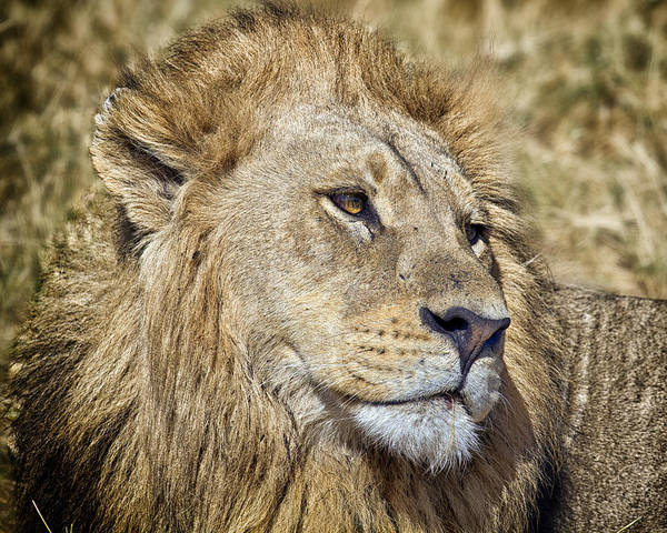 Photograph - Lion Portrait by Gigi Ebert