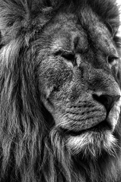 B B King Wall Art - Photograph - Lion Portrait by Martin Newman