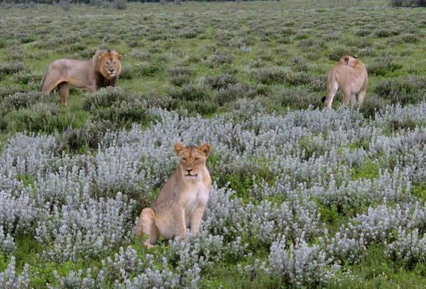 Wall Art - Photograph - Lion Pride by Cindy Kellogg