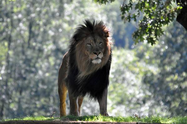 Blanton Wall Art - Photograph - Lion Series 3 by Teresa Blanton