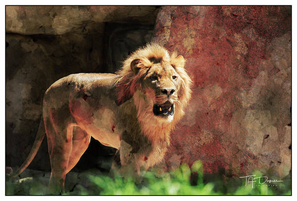 Photograph - Lion by T A Davies