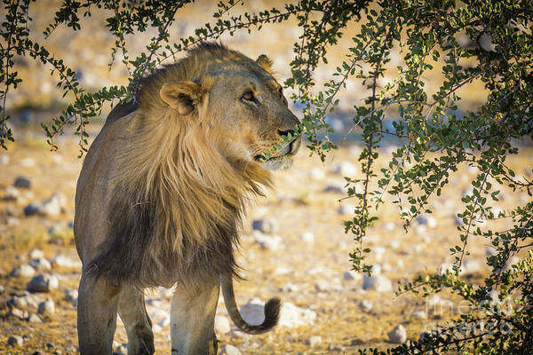Wildlife Sanctuary Photograph - Lion Under Acacia Tree by Inge Johnsson